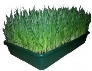 Wheatgrass Tray