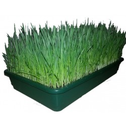 fresh-wheatgrass-tray-juice-home-delivery-cut