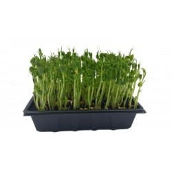 pea-shoots-micro-greens-sprouts-home-delivery