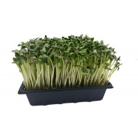 Sunflower Greens Tray